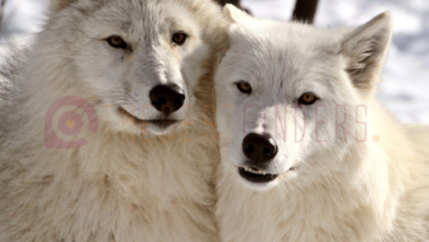https://thebestfinders.com/2021/07/19/everything-about-an-arctic-wolf/
