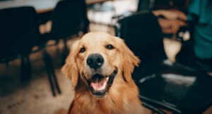 https://thebestfinders.com/2021/08/29/golden-retrievers-dog-breed-information-and-personality-traits/