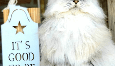 https://thebestfinders.com/persian-cat-white-breed-information/