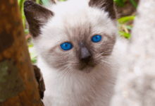 https://thebestfinders.com/sophisticated-siamese-cat-looks/