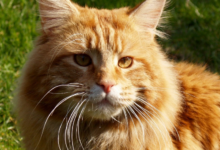 https://thebestfinders.com/all-i-need-to-know-about-maine-coon-cats/