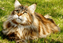https://thebestfinders.com/how-to-tell-if-your-cat-is-part-of-a-maine-coon/